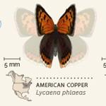 Animierte Grafik von 42 nordamerikanischen Schmetterlingen